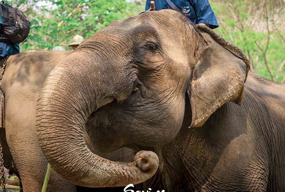 Saving THE THAI ELEPHANT DO IT NOW IN CHIANG MAI